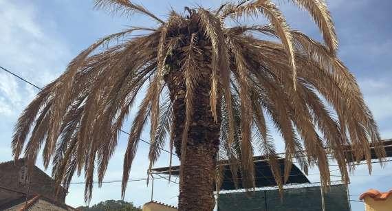 Održavanje palmi pogođenih palminim drvotočom